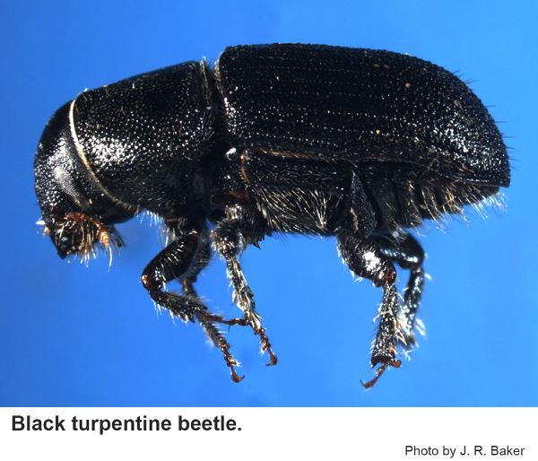Thumbnail image for Black Turpentine Beetle